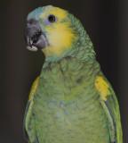 Kira the amazon parrot