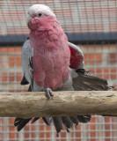 Pinky my Cockatoo