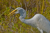 Great Egret About to Swallow a Fish