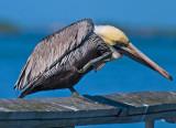 Brown Pelican Scratching