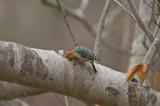 Red Bellied Woodpecker in Hole