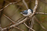 Whie-Breasted Nuthatch