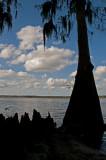 Cyprus Tree (and Knees) Silloette(s) on Lake Jessup, Winter Springs, FL