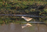 Tringa stagnatilis - Marsh Sandpiper