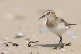 Calidris bairdii - Baird's Sandpiper