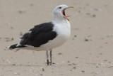 Great Black-backed Gull Bk[JA678]