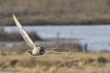Short Eared Owls of Forsythe NWR