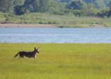 Coyote on marsh