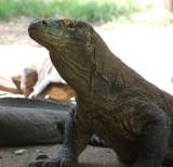 FLORES - The komodo dragons of Rinca Island