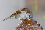 Thirsty Sparrow