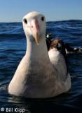 Wandering Albatross,  Kaikoura  1