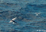 Flying Fish,  North Island  3