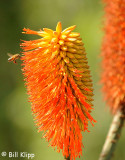 Bee on Flower,   San Diego Zoo  1