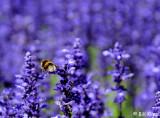 Buzzing Bee, Christchurch Botanical Gardens  1