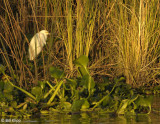 Great Egret, 17