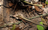 Whiptail Lizard,  Barro Colorado Island  1