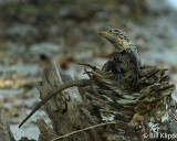 Spiny Tailed Iguana,   Manuel Antonio   1