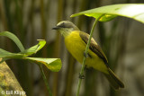 Tropical Kingbird,  Arenal Volcano  1