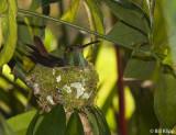 Hummingbird in Nest,  El Castillo  1
