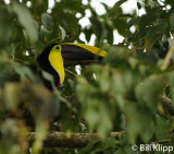 Chestnut Mandibled Toucan,  Arenal Volcano  1