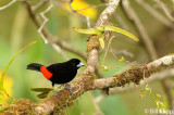 Passerinis Tanager, Arenal Volcano  1