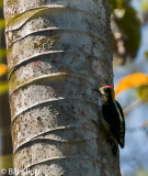 Lineated Woodpecker,  Corcovado Ntl Park  1