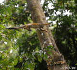 Squirrel Monkey,   Manuel Antonio   4