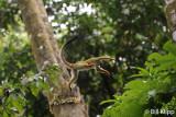 Squirrel Monkey,   Manuel Antonio   3