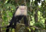 White Faced Capuchin Monkey,  Manuel Antonio  4