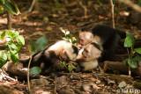 White Faced Capuchin Monkeys,  Manuel Antonio  3