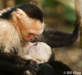 White Faced Capuchin Monkeys,  Manuel Antonio  2