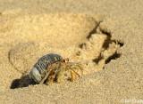 Hermit Crab,  Granito de Oro   2