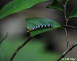 Catterpillar,  Barro Colorado Island  1