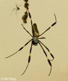 Golden Orb Spider,  Barro Colorado Island  1