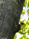 Pale Billed Woodpecker, Manuel Antonio  1