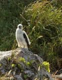 Brown Booby Chick,   Bona Island  1