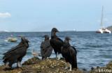 Black Vultures, Taboga Island  1