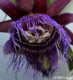 Passion Flower,  Manuel Antonio