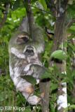 Three Toed Sloth with baby,   Manuel Antonio   3