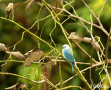 Blue Gray Tanager, Arenal Volcano 1