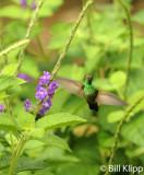 Hummingbird,  Arenal  10