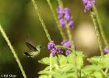 Hummingbird,  Arenal  8