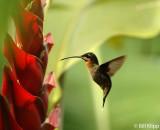 Hummingbird,  Arenal  7