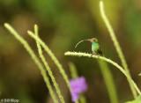 Hummingbird,  Arenal  5