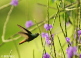 Rufous Tailed Hummingbird, Arenal  3