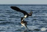 Frigate Bird stealing from a Brown Booby,   Bona Island  2