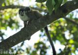 Squirrel Monkey,   Manuel Antonio   5