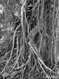 Strangler Fig,  Corcovado Ntl Park   1