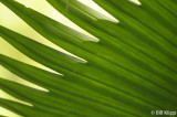 Palm Frond, Arenal  3
