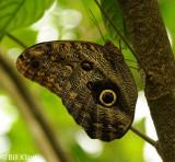 Owl Butterfly, El Castillo 1